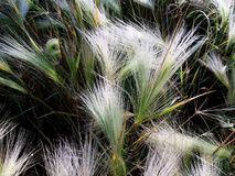 Flaumiges Gras Tau auf dem Gras stockfotografie