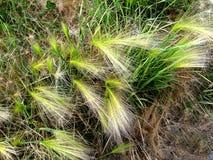 Flaumiges Gras Tau auf dem Gras Lizenzfreie Stockfotos