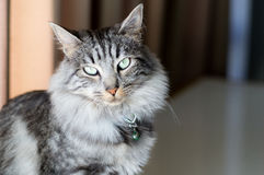 Flaumiges Grau abgestreifte Katze Stockfotos