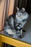 Flaumiges Grau abgestreifte Katze auf Tabelle Lizenzfreie Stockfotos