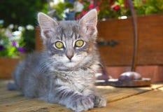 Flaumiges graues Kätzchen Lizenzfreie Stockfotografie