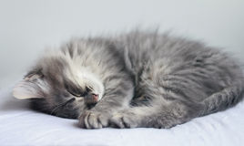 Flaumiges graues Kätzchen schläft auf einem Kissen Lizenzfreie Stockfotos