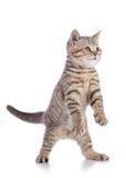 Flaumiges graues Katzenkätzchen, züchten schottisches gerades und spielen über weißem Hintergrund stockfoto