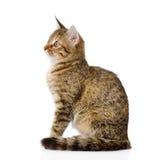 Flaumiges graues schönes Kätzchen im Profil Lokalisiert auf Weiß Lizenzfreie Stockfotos