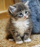 Flaumiges graues und weißes Kätzchen Lizenzfreies Stockfoto