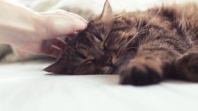 Flaumiges Haustier bequem vereinbart, um zu schlafen Frau, die eine Katze streicht stock footage