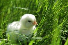Flaumiges Huhn im grünen Gras lizenzfreie stockbilder