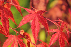 Flaumiges japanisches Ahornholz. Blätter. lizenzfreie stockfotografie
