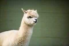 Flaumiges junges Alpaka Stockfoto