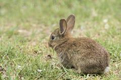 Flaumiges junges braunes Kaninchen, das Gras essend sitzt Lizenzfreies Stockbild