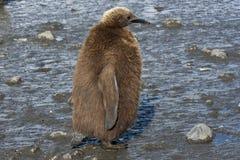 Flaumiges Küken eines König-Pinguins, der im Schlamm steht Lizenzfreies Stockbild