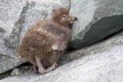 Flaumiges Küken Snowy Sheathbill, das auf den Felsen sitzt Stockfotos