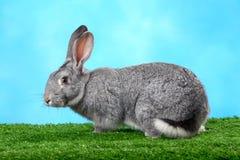 Flaumiges Kaninchen Stockbild