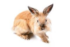 Flaumiges Kaninchen auf weißem Hintergrund Lizenzfreies Stockbild