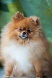 Flaumiges nettes Pomeranian, das auf einem grünen Hintergrund sitzt Stockfoto