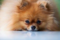 Flaumiges nettes Pomeranian liegt auf einer weißen Oberfläche Stockbild