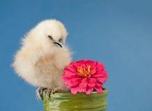 Flaumiges Ostern-Küken, das in einem kleinen Blumenpotentiometer sitzt Stockfotografie