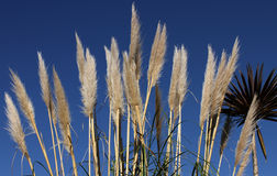 Flaumiges Pampas-Gras Stockfoto