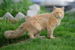 Flaumiges rotes Katzengehen Stockfotografie