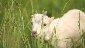 Flaumiges weißes goatie, welches das Leben in einer grünen Weide im Sommer in SlomO genießt stock video