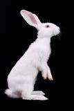 Flaumiges weißes Kaninchen Stockbilder