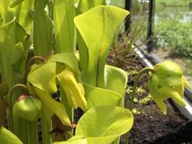 Flava de Sarracenia ou le pitcherplant jaune - jardin botanique Zurich ou Botanischer Garten Zurich photo stock