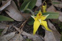 Flava del Caladenia - orquídea de la prímula Fotos de archivo