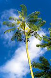 Flava do pulcherrima do Caesalpinia. Fotografia de Stock
