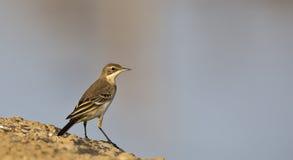 flava motacilla令科之鸟黄色 库存图片