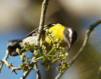 Flaveola de Coereba, Bananaquit Photo stock