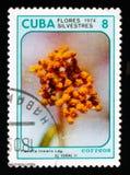 Flaveria linearis, circa 1974 Stock Images