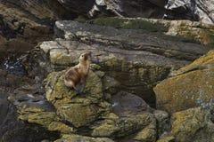 Flavescens del sud di Lion Otaria del mare - Falkland Islands Fotografie Stock Libere da Diritti