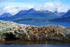 Flavescens do Otaria dos leões de mar nos animais selvagens, Ushuaia foto de stock royalty free