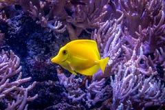 Flavescens jaunes de Zebrasoma de saveur image libre de droits