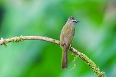 Flavescent bulbul Stock Image