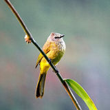 Flavescent Bulbul Stock Photo