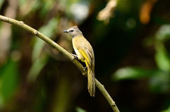 Flavescent bulbul (Pycnonotus flavescens) Stock Image