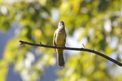Flavescent Bulbul Pycnonotus flavescens Royalty Free Stock Images