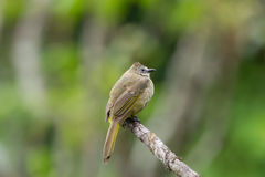 The flavescent bulbul Royalty Free Stock Images