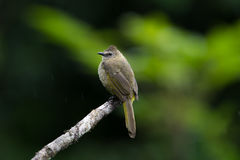 The flavescent bulbul Stock Photo