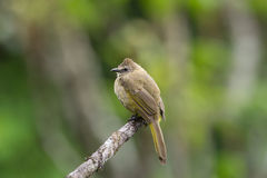 The flavescent bulbul Royalty Free Stock Photo