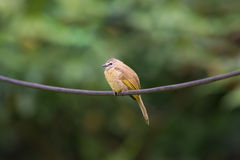 The flavescent bulbul Royalty Free Stock Photography