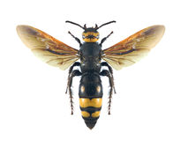 Flaviceps dei flaviceps di Scolia della vespa femminili Fotografia Stock