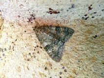 Flavicornis Achlya стоковые фотографии rf