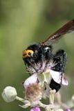 Flavifrons del maculata de Megascolia Fotos de archivo