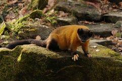 flavigula貂市场红喉刺莺的黄色 免版税库存照片