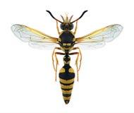 Flavigularis di Katamenes della vespa Fotografia Stock Libera da Diritti