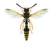 Flavigularis di Katamenes della vespa Immagini Stock Libere da Diritti