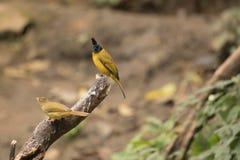 Flaviventris de Pycnonotus Imagens de Stock Royalty Free