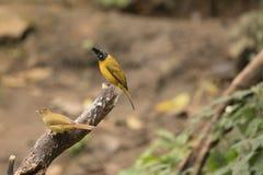 Flaviventris de Pycnonotus Fotos de Stock Royalty Free